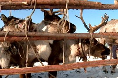 В Приамурье от нашествия волков страдают оленьи стада