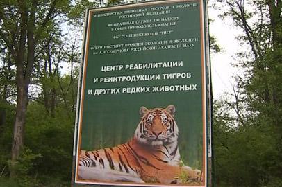 У «президентского» тигра Бориса и Светлой появилось потомство