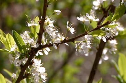 Жимолость, малина, полукультурка: что выращивают на своих участках амурские садоводы