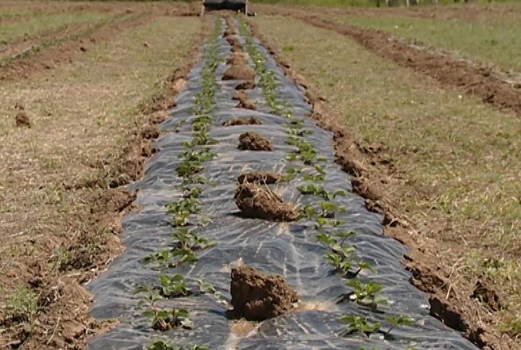 Обладатель бесплатного гектара в Свободненском районе занялся выращиванием клубники