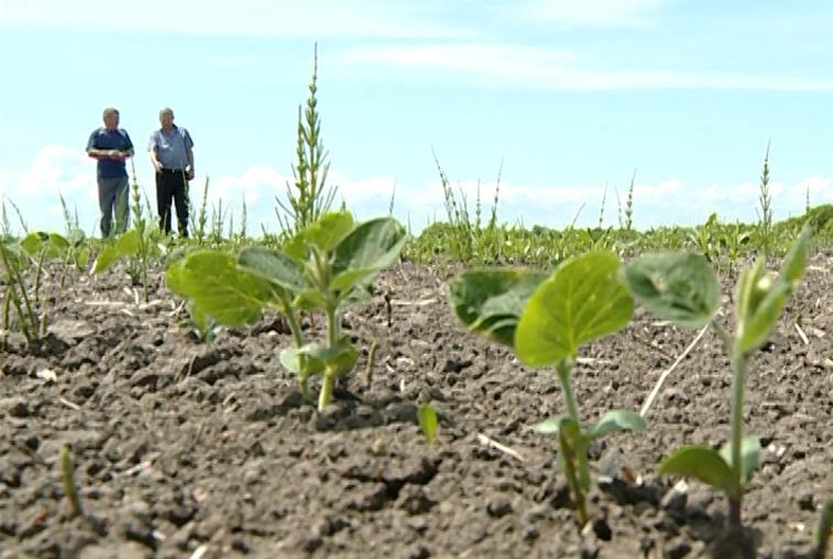 Растениеводы ждут дождя: в Михайловском районе засуха губит всходы