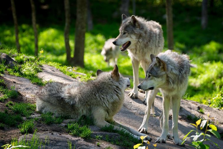 Популяция волков в Приамурье выросла до угрожающих масштабов