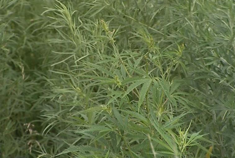 В Приамурье уничтожено лишь 7% выявленной дикорастущей конопли