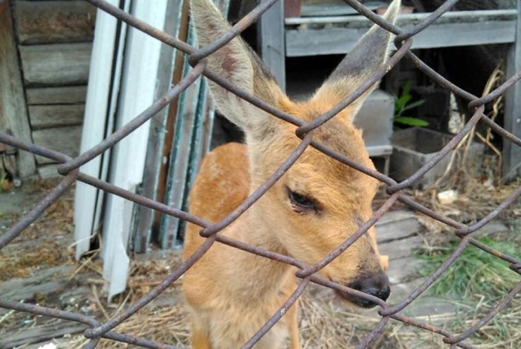 Житель Шимановска отбил у собаки детеныша косули