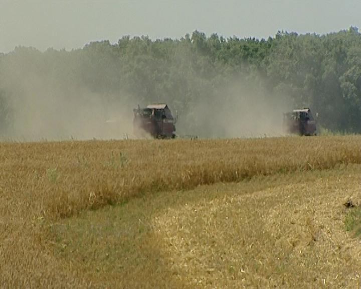 Агрономы колхоза «Луч» рассказали о качестве зерна в нынешнем сезоне