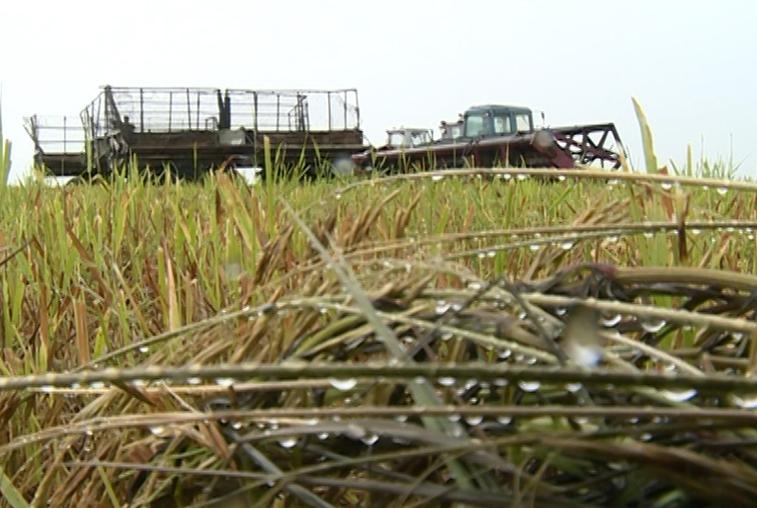 Амурские аграрии приостановили уборку ранних зерновых из-за циклонов