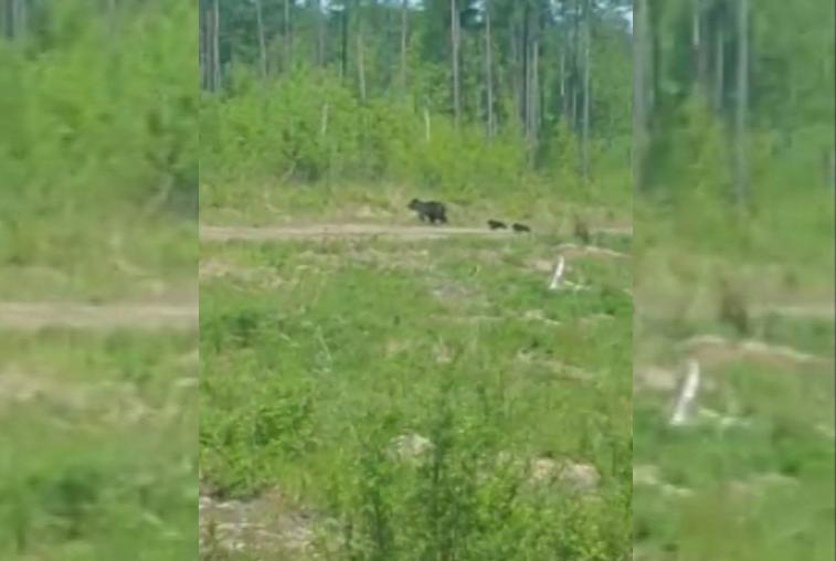 Медведи вновь вышли к людям на севере Приамурья