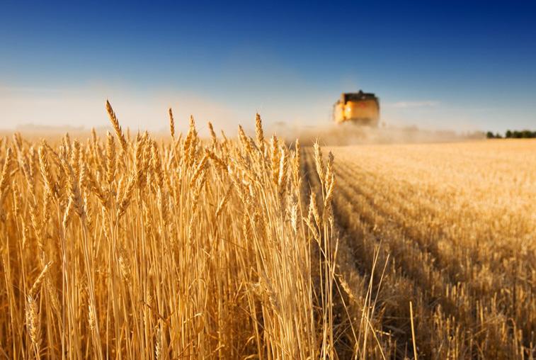 Мазановские аграрии превысили прошлогодние показатели по намолоту зерновых культур
