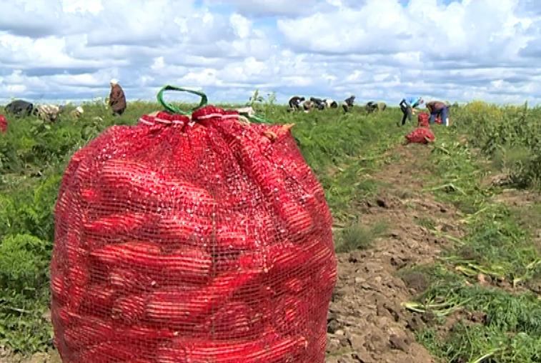 Овощеводы из Гродеково накормили дальневосточников амурским картофелем и морковью
