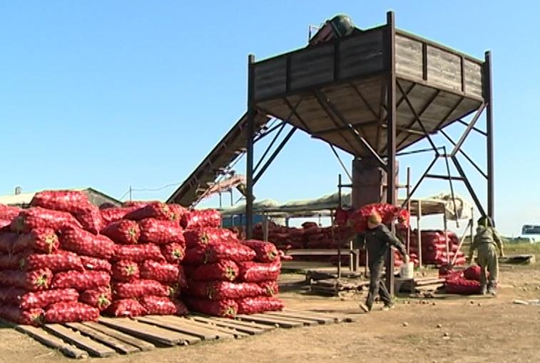 Рекордный урожай ожидают амурские овощеводы