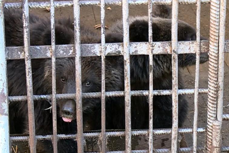 Ивановский Дом природы взял на передержку двух медвежат из Зейского  района