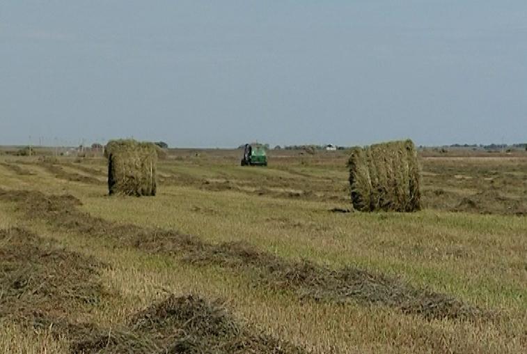 В амурских хозяйствах восполняют недостающие запасы грубых кормов