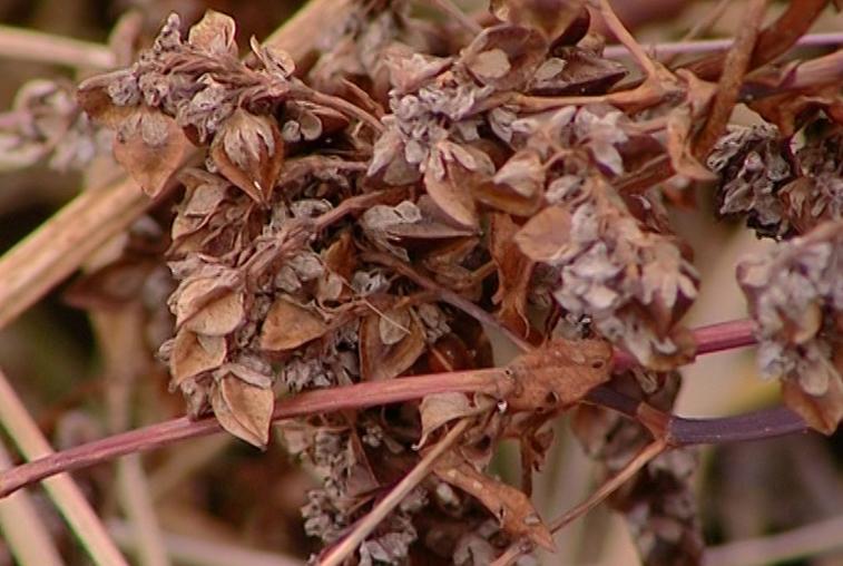 Серышевские растениеводы вдвое  увеличили урожайность гречихи