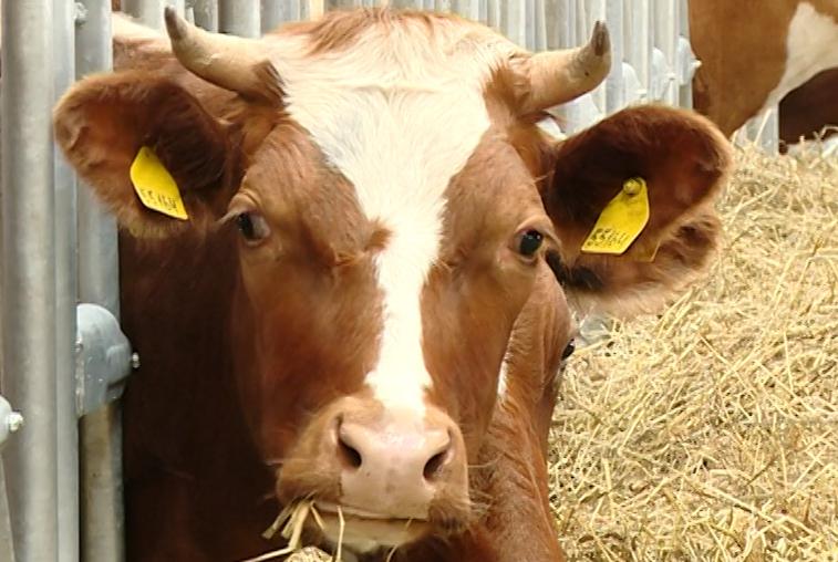 Партию коров молочного направления доставили в Приамурье из Красноярского края