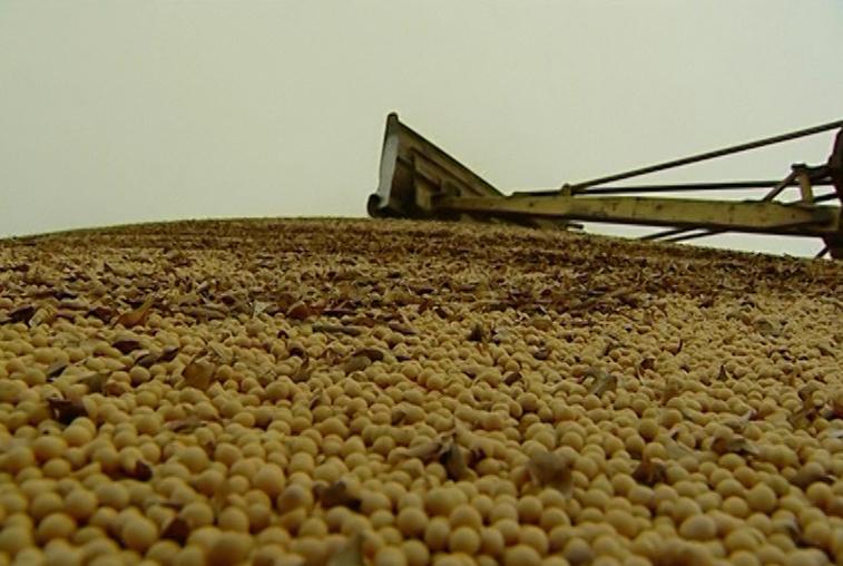 Урожай сои в Приамурье сполна удовлетворит запросы переработчиков
