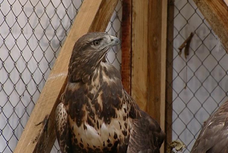 Просторный вольер для хищных птиц построили в благовещенском зоопарке