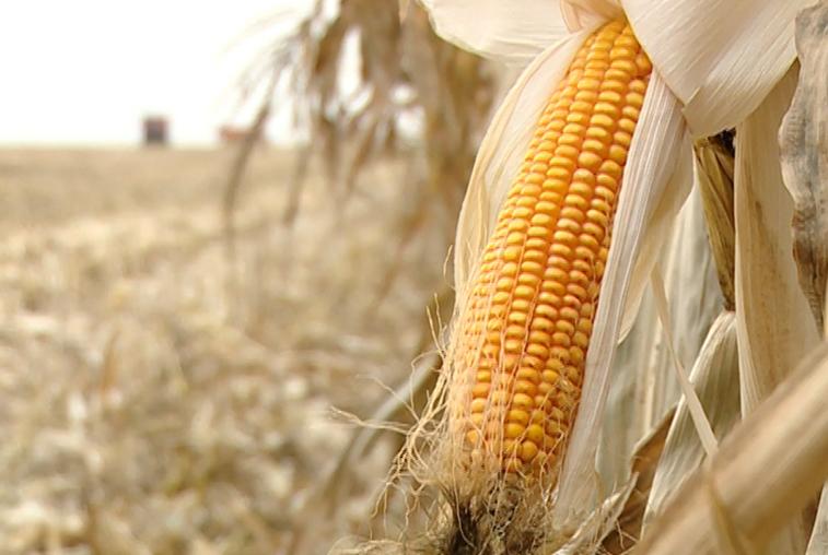 Урожайность кукурузы в Приамурье вдвое выше прошлогодней