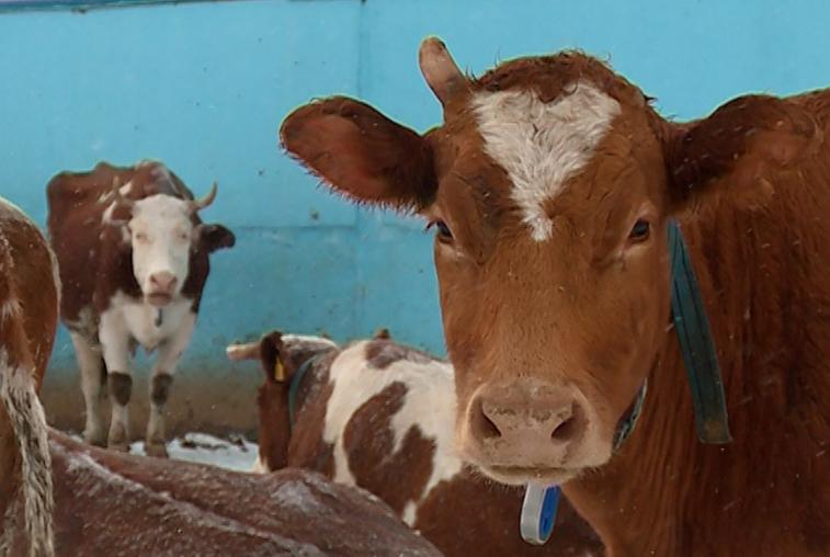 Получившая статус племрепродуктора мега-ферма «Луч» может рассчитывать на дополнительную поддержку