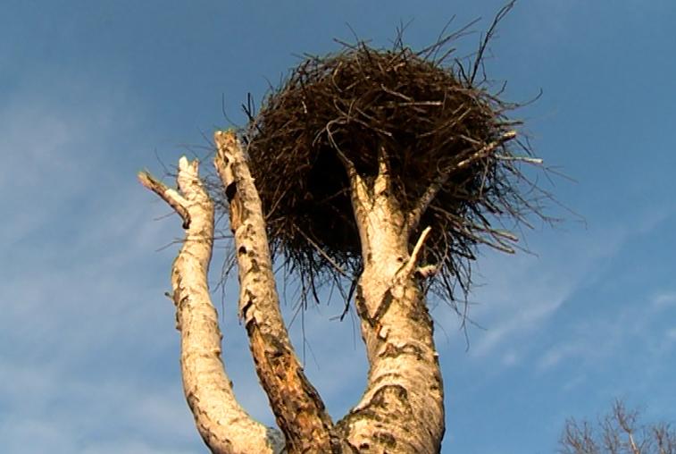 Гнезда аистов в Хинганском заповеднике уцелели благодаря противопожарной обработке
