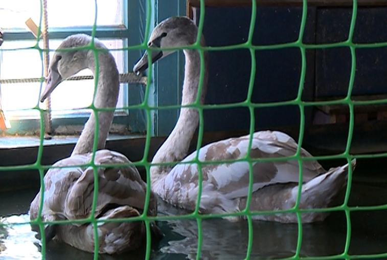 Лебеди Петр и Феврония перебрались на зимовку в ивановский Дом природы
