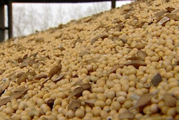 Амурские соеводы ищут рынки сбыта рекордного урожая