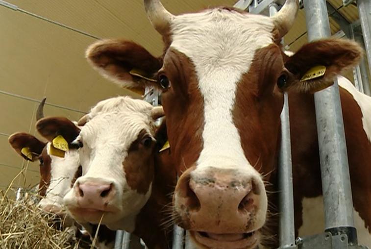 Элитных коров из Красноярского края доставили в комплекс «Приамурье»