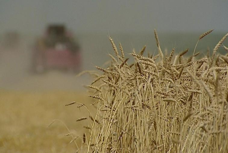 Шесть амурских компаний получили разрешение на поставку пшеницы в Китай
