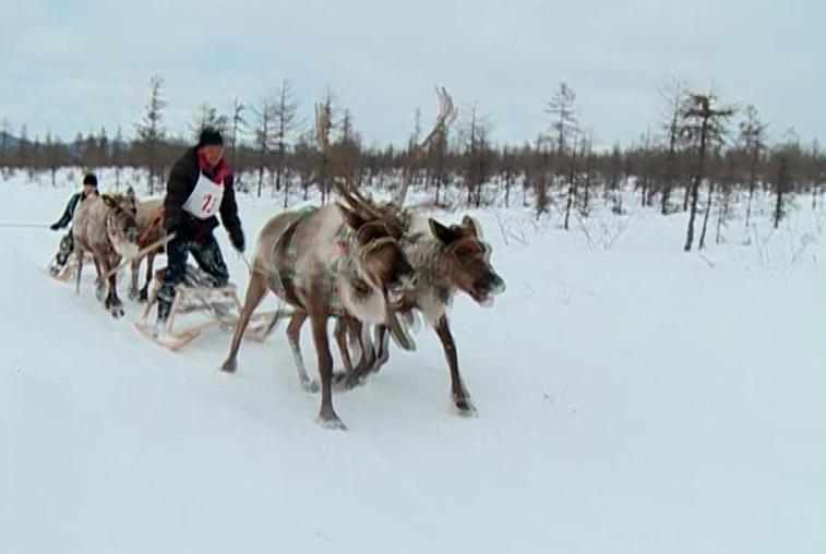 Гонки на оленьих упряжках и обряд очищения: амурские эвенки отметили День оленевода