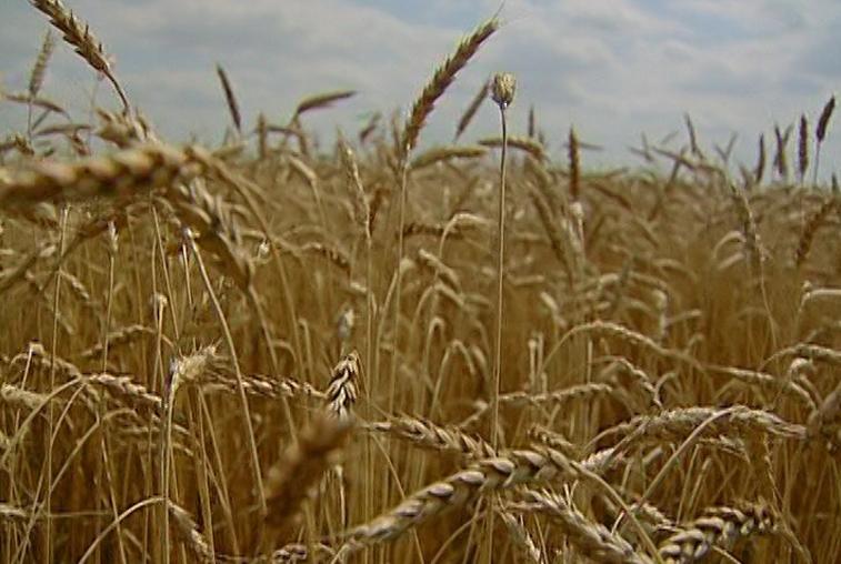 Первая партия амурской пшеницы отправилась в Китай