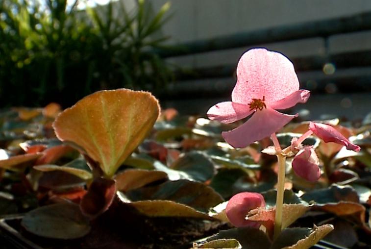 Благовещенские улицы летом украсят новые сорта цветов