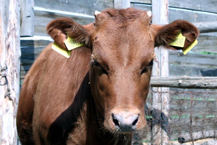 В Приамурье не пустили почти 200 животных из неблагополучного по ящуру Забайкалья