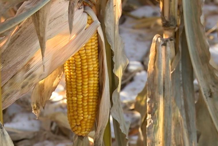 Новая техника и развитие рынков сбыта повысят спрос на кукурузу Приамурья