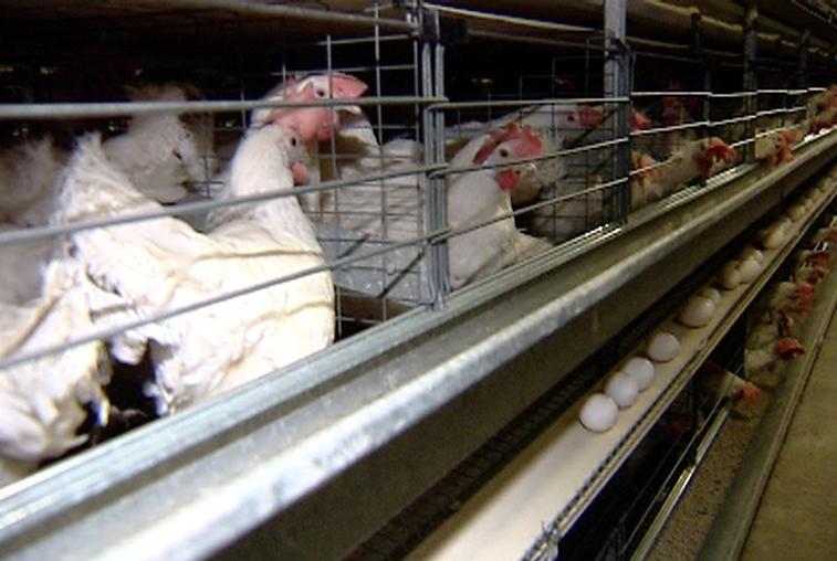 Вирус птичьего гриппа выявили на птицефабрике в Приморье