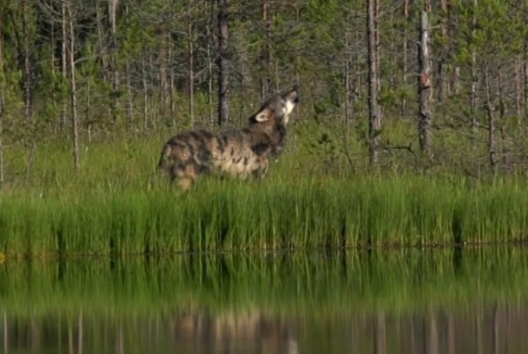Против волков в Приамурье предлагают применить яды и капканы