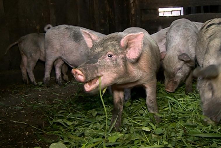 Мясной бизнес: В Приамурье стало невыгодно заниматься свиноводством