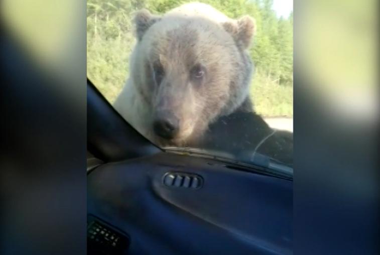 На трассе медведь попытался раскачать автомобиль с водителем