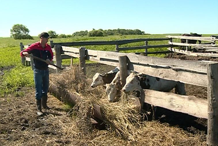 Молочные реки: как амурский фермер распорядился грантом от государства