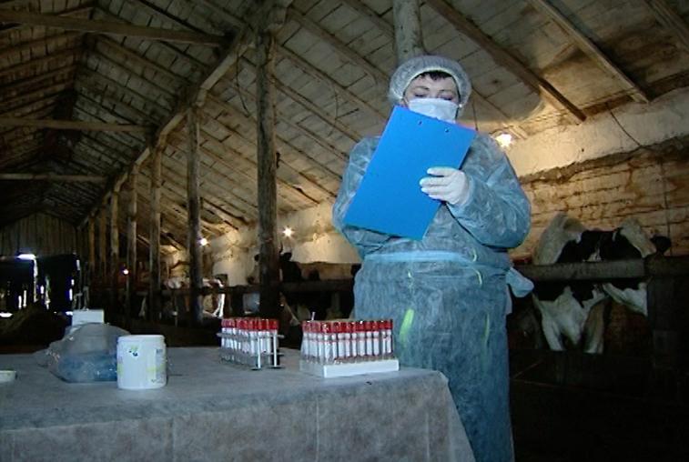 Амурских животноводов обязали привить скот от сибирской язвы