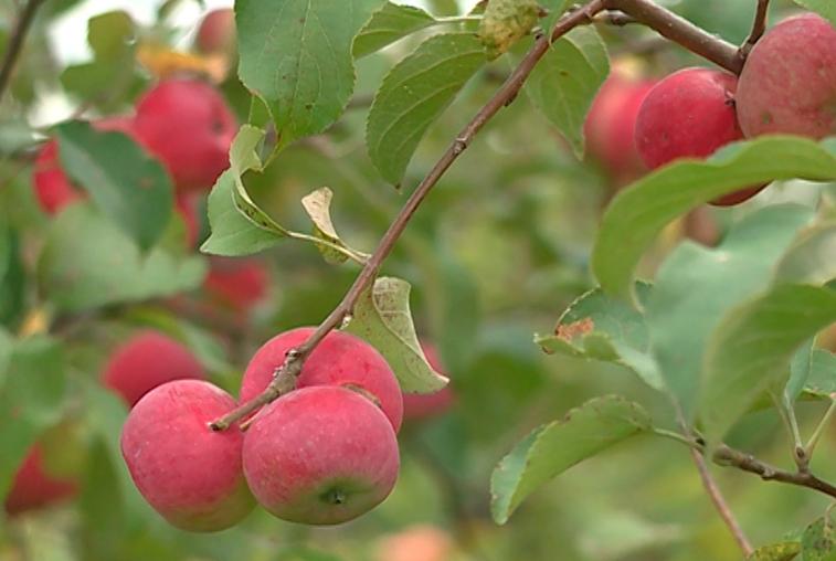 Яблоки и груши уродились в плодопитомнике села Грибское