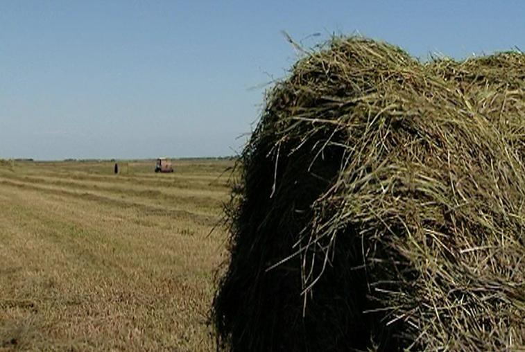 Темпы заготовки кормов в Приамурье значительно ниже прошлогодних