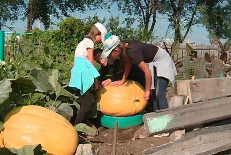Гигантские тыквы вырастили ученики Чигиринской школы