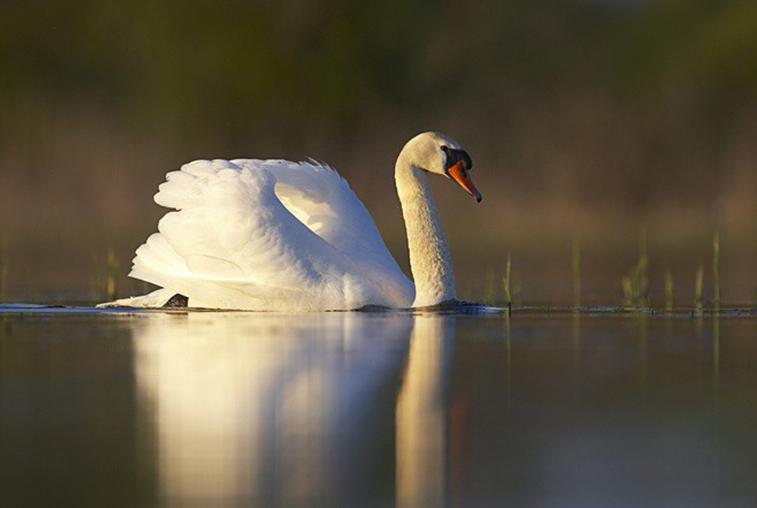 Пропавший в Ивановке лебедь нашёлся