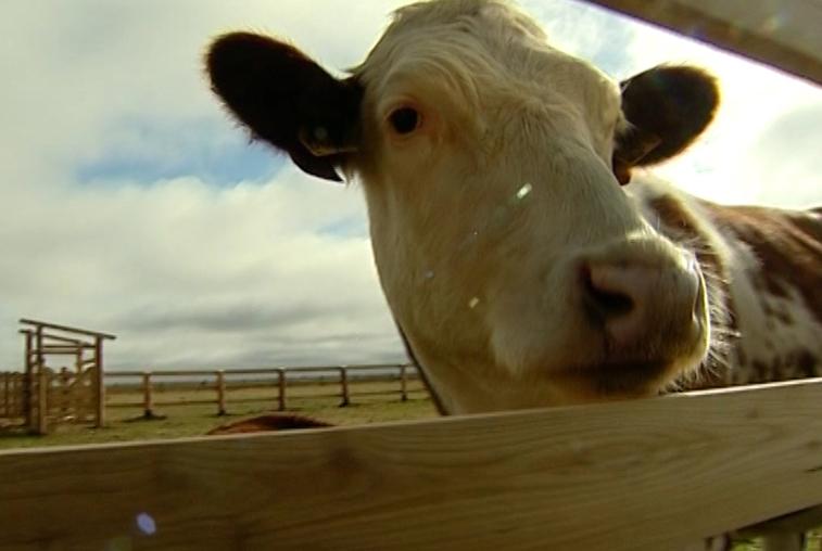 Об обеспечении животноводов элитным скотом и подготовке специалистов для АПК