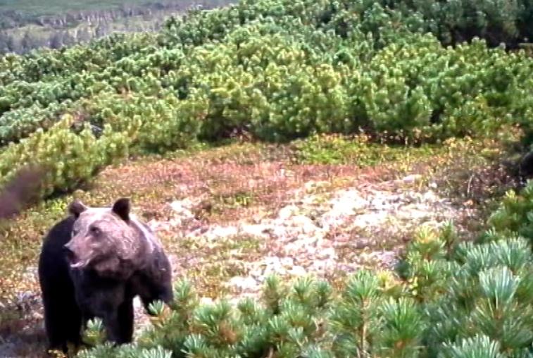 Медведей в амурских лесах стало больше на 1300 особей
