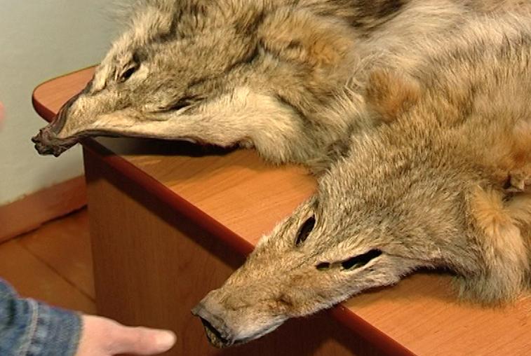 В Приамурье охотникам опять стали платить за волчьи шкуры