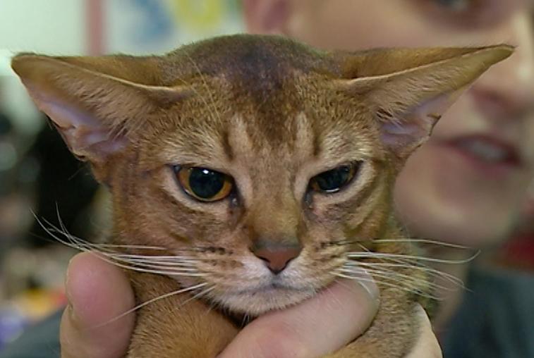 Абиссинская кошка стала лучшей на выставке в Благовещенске