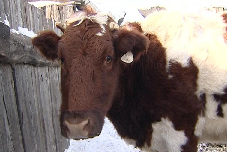 Случай бешенства у коровы впервые за много лет зафиксирован в Приамурье