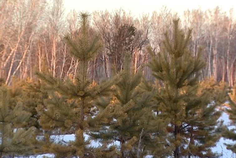 Ущерб от незаконной вырубки леса в Приамурье составил 7,5 млн рублей