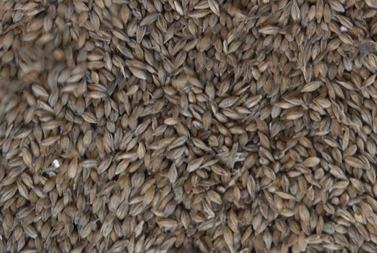 Амурские растениеводы заботятся о сохранении урожая зерновых