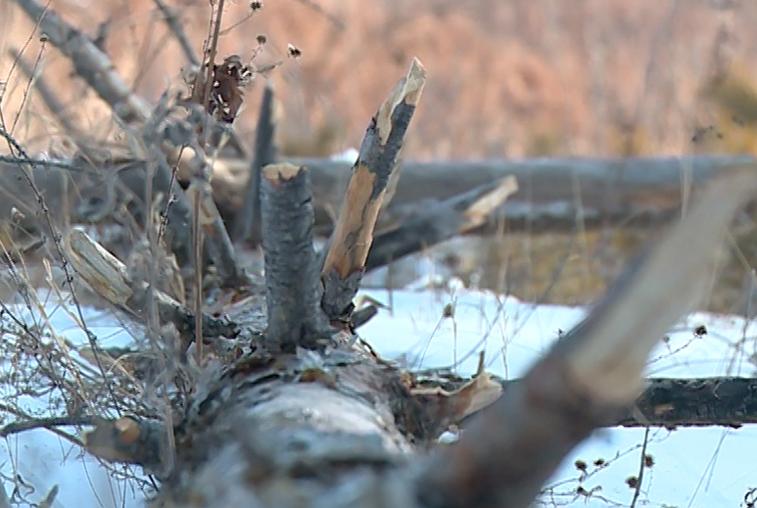 Бесплатные дрова: амурчанам разрешили собирать валежник в лесу